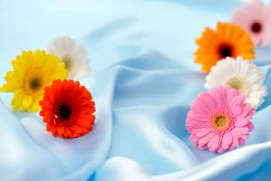 シルクの布に置かれたガーベラの写真素材 [FYI01609888]