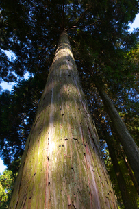 檜の写真素材 [FYI01609889]