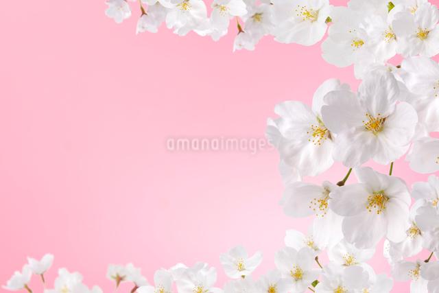桜の写真素材 [FYI01610000]