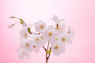 桜の写真素材 [FYI01610012]