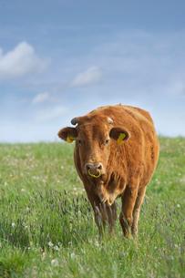 阿蘇の赤牛の写真素材 [FYI01610026]