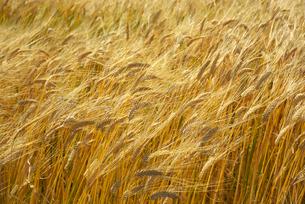二条麦の写真素材 [FYI01610090]