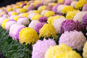 菊の写真素材 [FYI01610110]