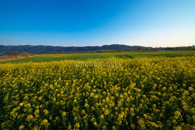 耳納連山を背景に筑後川河川敷の菜の花の写真素材 [FYI01610306]