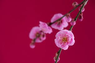梅の写真素材 [FYI01610414]
