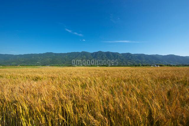 耳納連山を背景に小麦畑の写真素材 [FYI01610444]