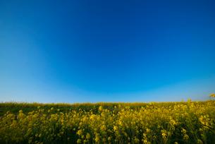 耳納連山を背景に筑後川河川敷の菜の花の写真素材 [FYI01610605]