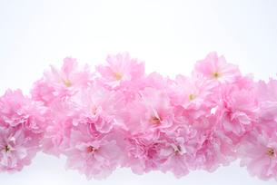 八重桜の写真素材 [FYI01610761]