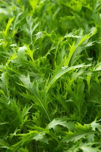 水菜の写真素材 [FYI01610857]