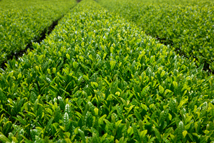 茶畑の写真素材 [FYI01611532]