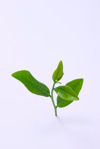 茶葉の写真素材 [FYI01611638]