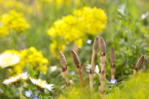 土筆と菜の花の写真素材 [FYI01611783]