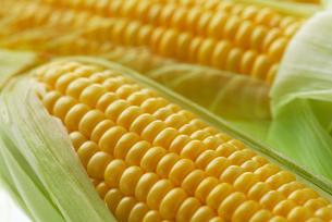 トウモロコシの写真素材 [FYI01611905]