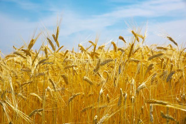 二条麦の写真素材 [FYI01611931]