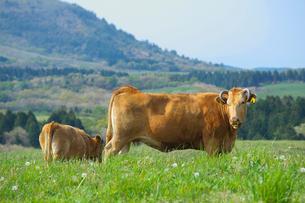 阿蘇の赤牛の写真素材 [FYI01612112]