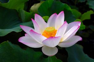 蓮の花の写真素材 [FYI01612152]