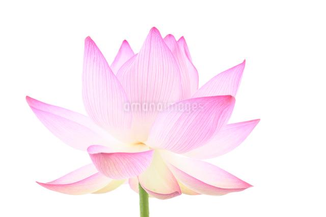 蓮の花の写真素材 [FYI01612201]