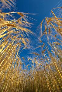二条麦の写真素材 [FYI01612249]