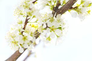 梨の花の写真素材 [FYI01612282]