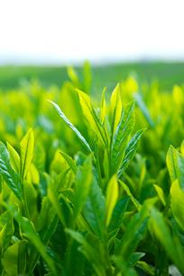 茶葉の写真素材 [FYI01612320]