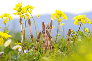 土筆と菜の花の写真素材 [FYI01612347]