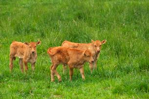 阿蘇の子牛の写真素材 [FYI01612348]