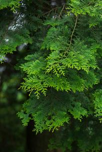 檜の写真素材 [FYI01612363]