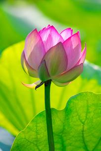 蓮の花の写真素材 [FYI01612376]