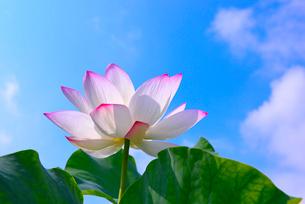 蓮の花の写真素材 [FYI01612390]