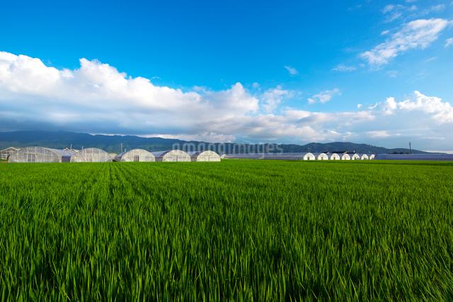 耳納連山と水田の写真素材 [FYI01612693]