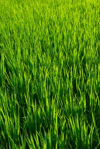 稲の写真素材 [FYI01612703]