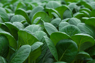 ハウス栽培の小松菜の写真素材 [FYI01612816]