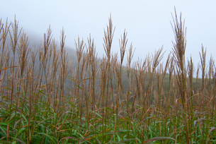 朝露に濡れるススキの写真素材 [FYI01612827]