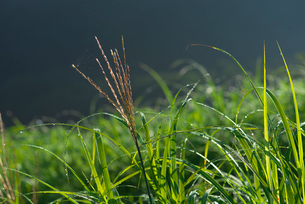 朝露を浴びたススキの写真素材 [FYI01612839]