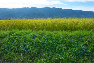 耳納連山を背景にツユクサと稲の写真素材 [FYI01612885]