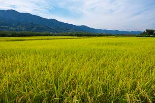 耳納連山を背景に稲の写真素材 [FYI01612962]