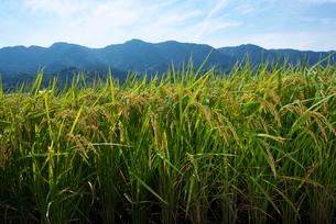 耳納連山を背景に稲の写真素材 [FYI01613077]