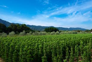 耳納連山を背景に植木栽培イヌマキの写真素材 [FYI01613082]