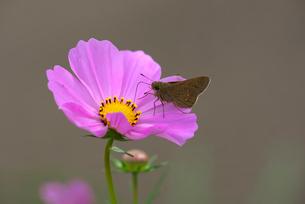 コスモスと吸蜜中のセセリ蝶の写真素材 [FYI01613107]