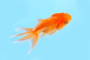 金魚の写真素材 [FYI01613141]