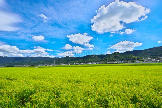 稲作の写真素材 [FYI01613357]