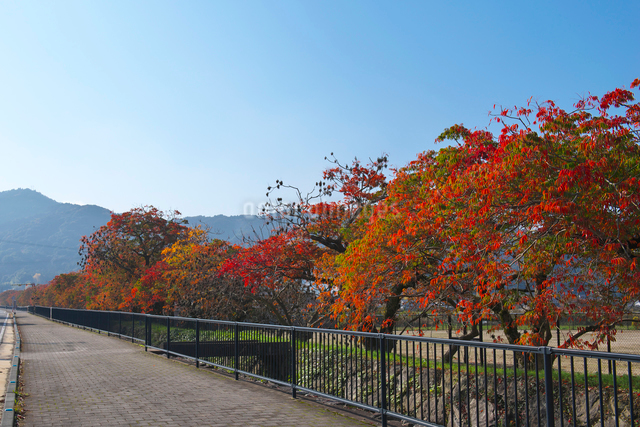 福岡県 柳坂曽根の櫨並木の写真素材 [FYI01613422]