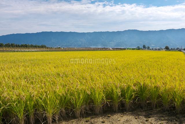 稲と耳納連山の写真素材 [FYI01613473]