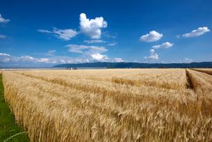 麦畑の写真素材 [FYI01613507]
