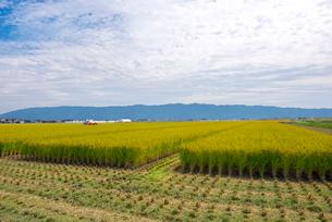 稲と耳納連山の写真素材 [FYI01613515]