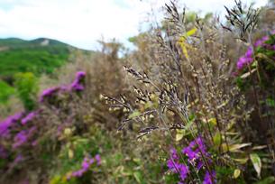 笹の花の写真素材 [FYI01613546]