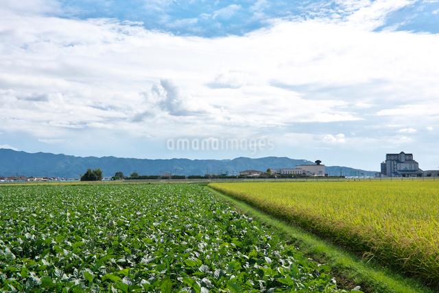 大豆畑と稲の写真素材 [FYI01613631]