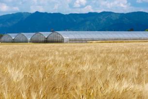 麦畑の写真素材 [FYI01614002]