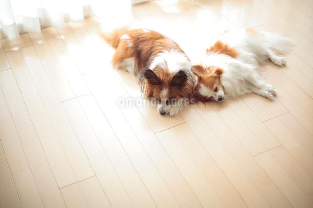 リビングで寝るパピヨンの写真素材 [FYI01614124]