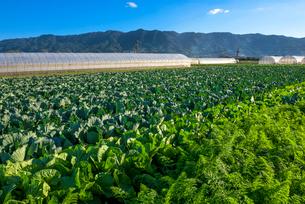 耳納連山を背景に野菜畑の写真素材 [FYI01614154]